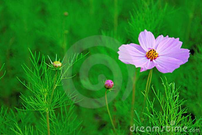 single-pink-cosmos-flower-single-flower-bud-10526878